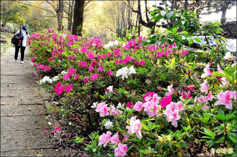 石門水庫園區的杜鵑花陸續盛開,有紅、有粉、有白,吸引遊客駐足賞花。(記者李容萍攝)