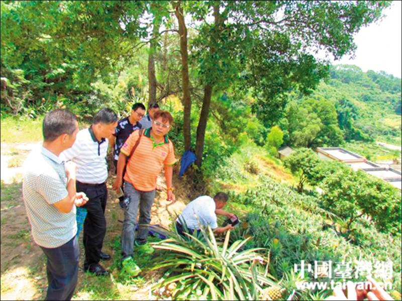 中國誘我國農業技術,再伺機取而代之。圖為臺灣農業專家在中國示範點考察交流, 並指導農民種植金鑽鳳梨。 (中國台灣網 )