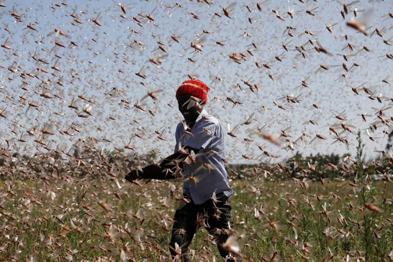 肯亞近日蝗災嚴重。(路透)