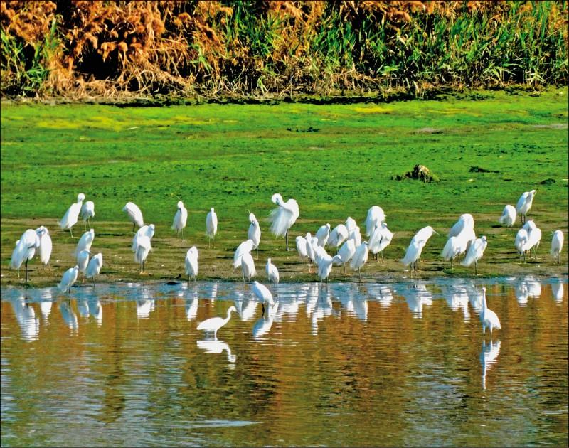 二仁溪之前因沿岸污染嚴重,昔日被稱為「死亡之河」,政府全力整治下,原有生態逐漸恢復,台灣濕地保護聯盟上週到河道進行定期的鳥類調查工作時,竟在外灘地發現黑面琵鷺停棲,數量多達18隻,創下觀測以來最高紀錄。濕盟說,這次記錄的地點,為二仁溪下游河道淺灘,對於鷺科、鷸、鴴、䴉科的鳥類來說,是極佳的覓食區,加上冬季水流較為平穩,干擾也少,研判可能因此吸引黑面琵鷺下來駐足。(圖:濕盟提供,文:記者吳俊鋒)