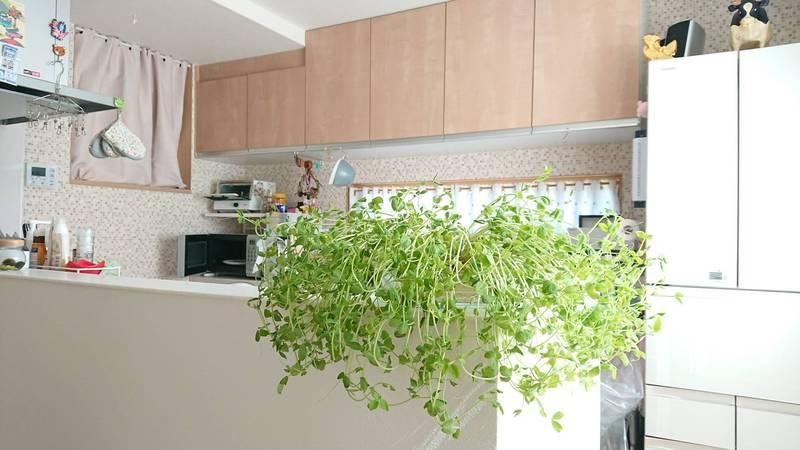 這盆豆芽擺在廚房宛如一種時尚的擺設。(圖取自推特「@harepiyopiyo」)