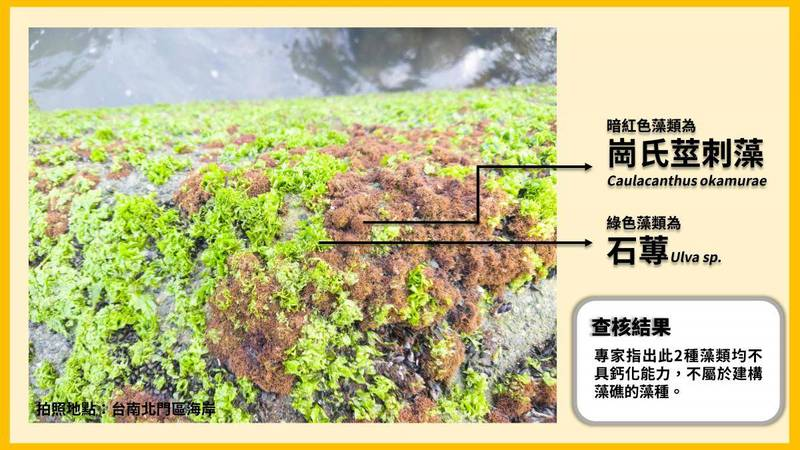 網路傳言稱台南學甲北門也有藻礁,經查核中心拍攝同地藻類,專家辨認該處藻類並非鈣化藻,無法建構礁體,不能形成藻礁。(圖擷取自事實查核中心)