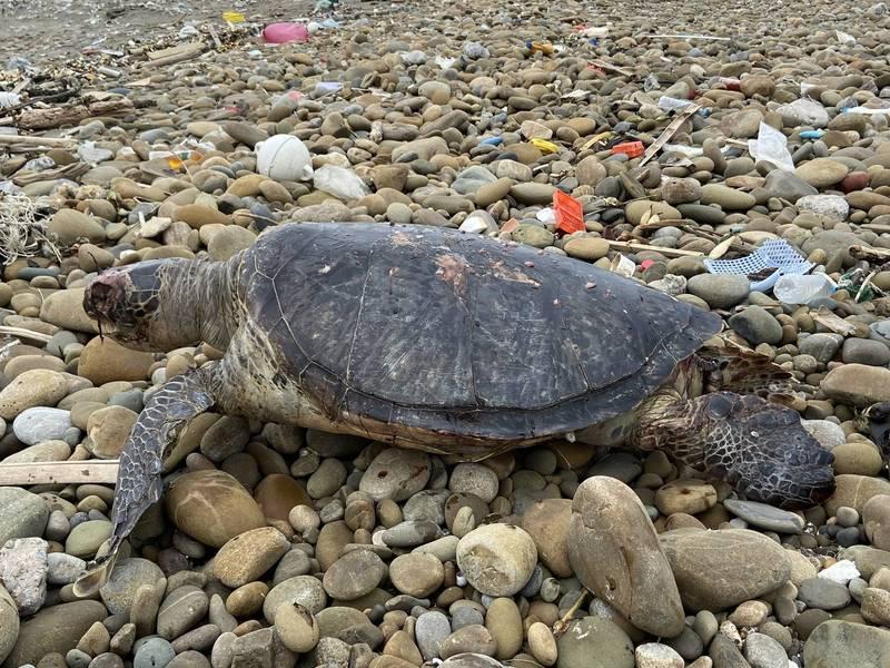 悲!綠蠵龜命喪後龍沙灘。(海巡署提供)