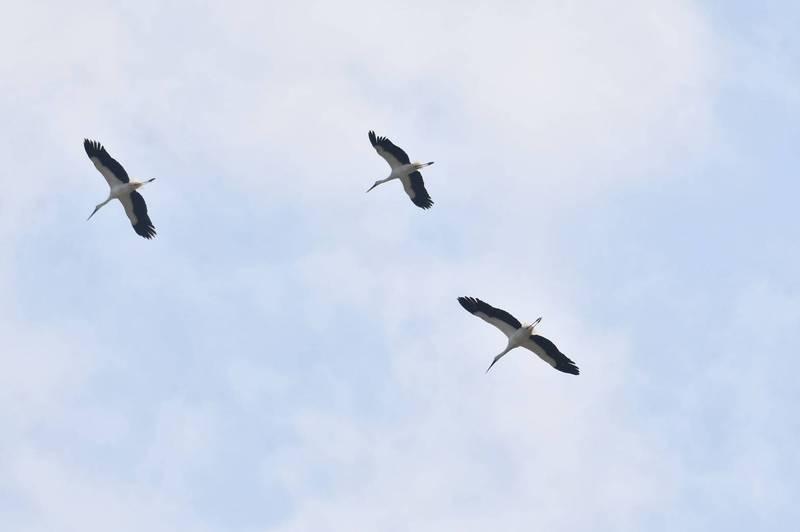 珍稀東方白鸛、黑鸛濁水溪口同框 鳥友目擊直呼太幸運