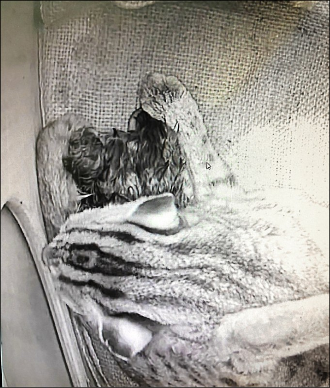 石虎「平平」於3月2日傍晚17:43、18:00及18:20陸續生下3隻小寶寶。 (台北市立動物園提供)