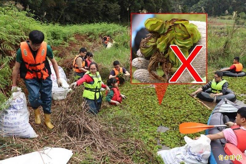 荒野保護協會與大學生志工,一起清除雙連埤的人厭槐葉蘋。(記者林敬倫攝;本報合成)