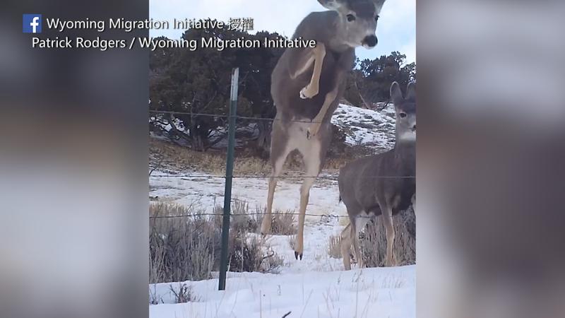 友善柵欄讓鹿群能夠輕鬆通過,減少鹿群被纏住受傷甚至死亡的風險。(圖片由Patrick Rodgers / Wyoming Migration Initiative授權提供使用)