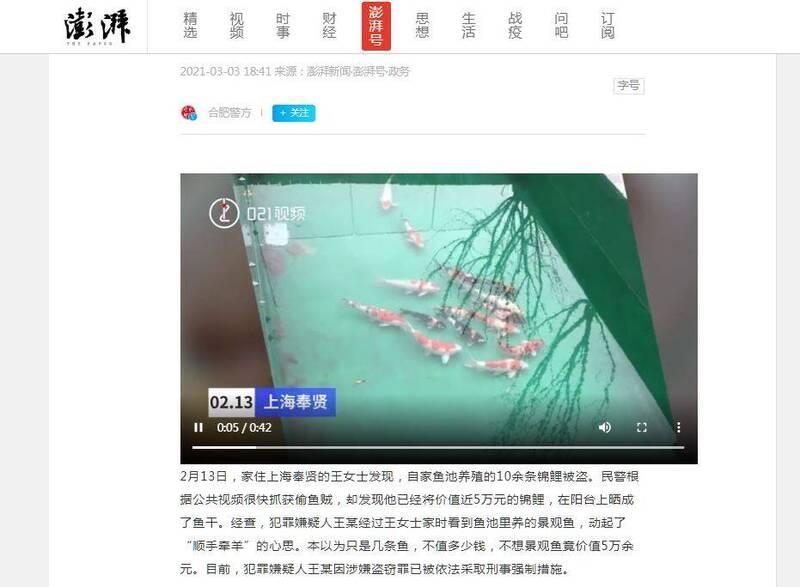 中國上海奉賢區1名王姓女子家裡養了10多條錦鯉、價值近5萬人民幣(約新台幣21萬元),未料日前被竊急報警。(圖翻攝自《澎湃新聞》)