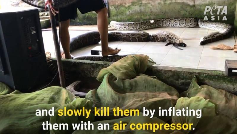亞洲善待動物組織公布蟒蛇取皮工廠記錄影片,畫面相當血腥。(翻攝亞洲善待動物組織youtube頻道)