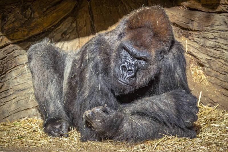 聖地亞哥動物園有8隻大猩猩在1月確診,是全球最早傳出猩猩科(Great apes)動物確診消息的地方,目前園方對9隻靈長類動物施打實驗性動物疫苗,希望讓動物們免於疫情威脅。圖為聖地亞哥動物園大猩猩,非接種疫苗猩猩。(歐新社)