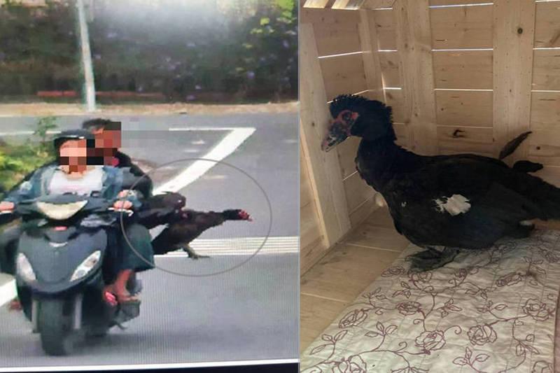 高雄市大寮區一隻紅面番鴨寵物,經常外出散步自行回家,日前在路邊遭一對騎機車父女抓走。(讀者提供;本報合成)