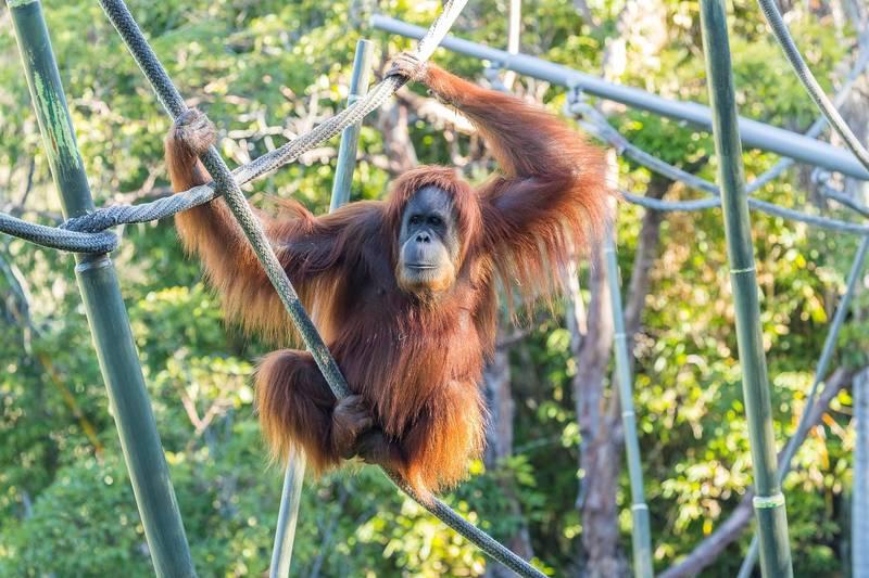 近日接種了新冠病毒疫苗的聖地牙哥動物園紅毛猩猩,2018年11月檔案照。(路透)