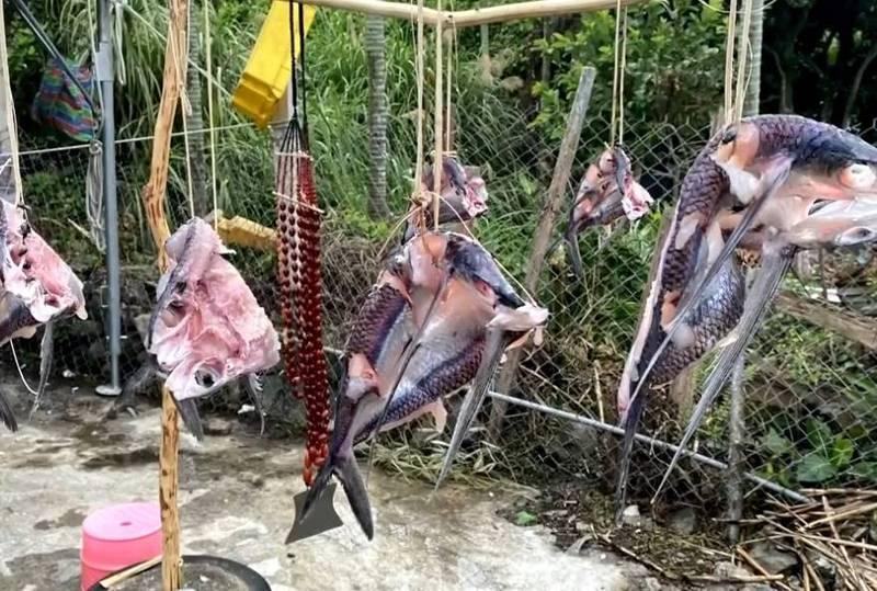 日曬首波捕捉到的飛魚,蘭嶼雅美(達悟)族人會取出家傳「瑪瑙」同掛曬,示尊重與歡迎。(蘭嶼楊姓民眾提供)
