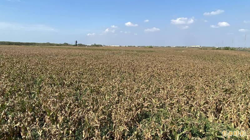 台南鹽水區種植硬質玉米2100公頃,近期陸續採收。(記者楊金城攝)
