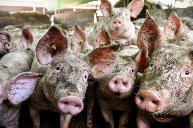 中國上個月22日大力宣傳,雖受非洲豬瘟影響但是今年下半年豬肉供應有望恢復正常,但中國四川與湖北再度爆發了非洲豬瘟。示意圖。(歐新社)
