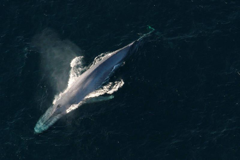 鯨豚是我們哺乳類動物中體型最大且最長壽的物種,其抗衰老及抵禦癌症的能力相當傑出。(路透)