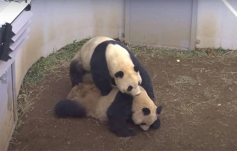 日本東京上野動物園熊貓力力和真真,昨(6日)完成4年來首次的交配。(圖擷自TokyoZooNet網站)