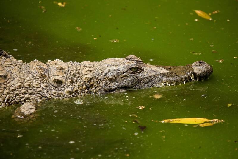 南非一家養殖場發生大規模鱷魚集體逃跑事件,目前已抓回45尾,但目前仍不知還有多少鱷魚逃逸在外。尼羅鱷示意圖。(法新社)