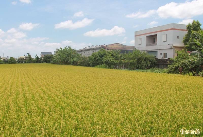 台灣稻米外銷近年取得佳績外,轉移外銷市場也極為成功。(資料照)