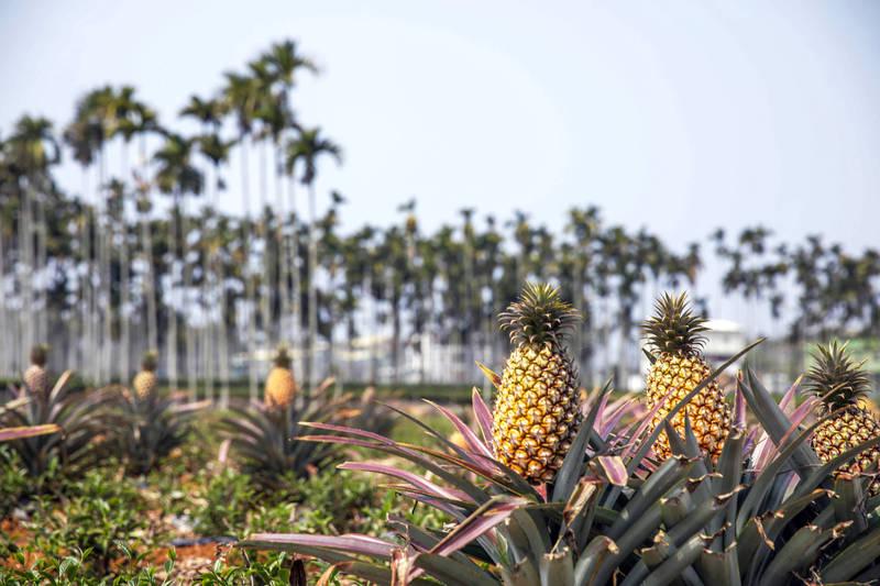 《彭博》對此發現,「亞洲購物者無視中國禁令搶購台灣鳳梨」,整個亞洲的消費者都在政治上以行動聲援台灣鳳梨。(彭博)
