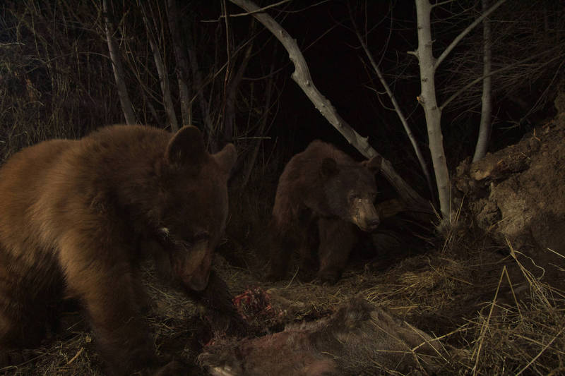 美國加州一處民宅遭到熊媽媽帶小熊入侵,所幸當時屋主不在家,無人受傷。圖為加州當地黑熊示意圖,非當事熊。(路透)