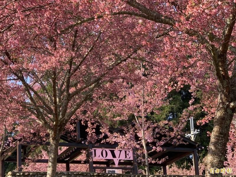 福壽山農場千櫻園今年櫻花大爆發,場方估計花期到月底,民眾賞花動作要快。(記者唐在馨攝)