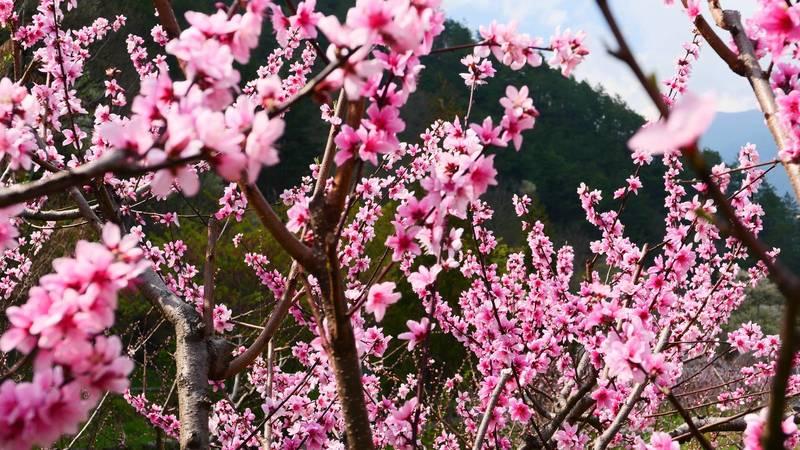 武陵農場桃花盛開,種植的桃樹分成觀賞及可食用兩種。(武陵農場提供)
