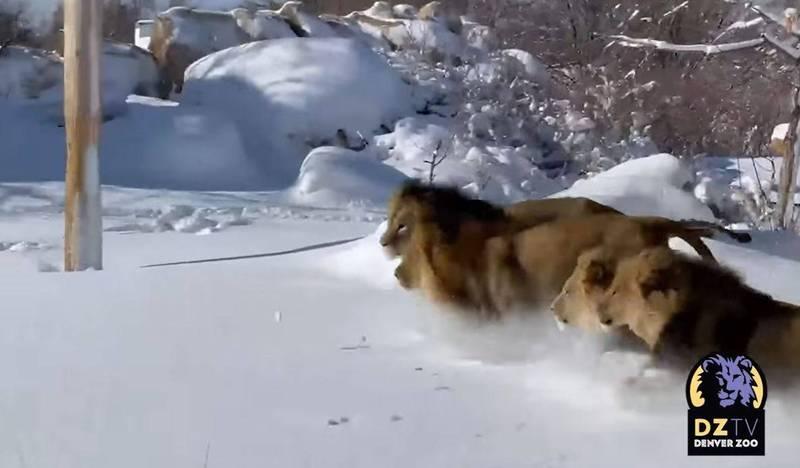 雪地中飛奔的獅群,腳邊濺起陣陣雪花。(圖取自Denver Zoo臉書)