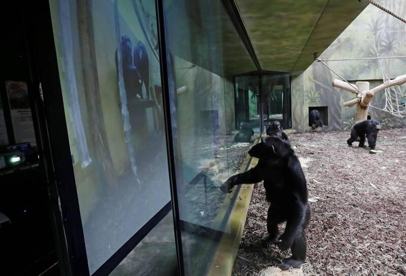 捷克2家動物園的黑猩猩透過視訊軟體互動。(路透)