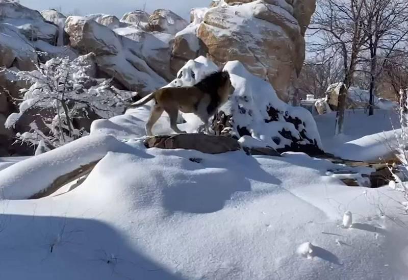 飼養員為動物園中的獅群剷除積雪,他們開心的在雪地中玩耍,不畏寒冷。(圖取自Denver Zoo臉書)
