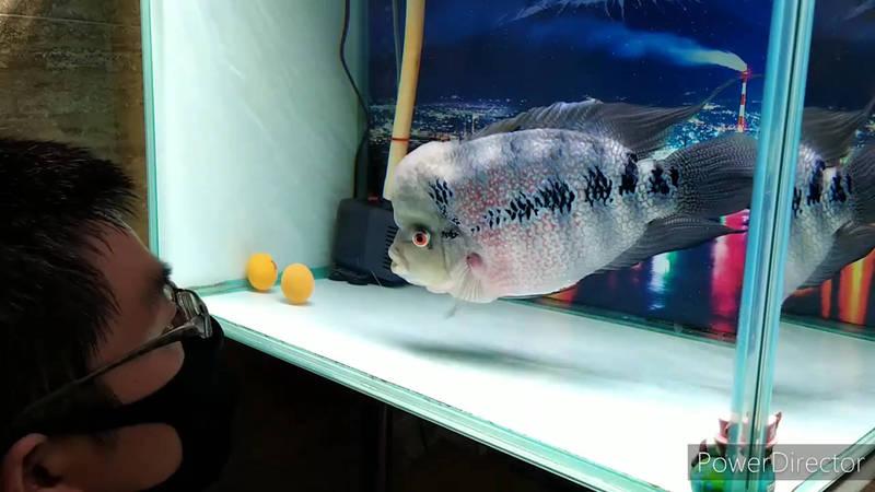 羅漢魚「厚道」最喜歡跟主人一起玩,但當主人冷落牠,牠會很生氣。(粉專我的養魚生活點滴 授權)