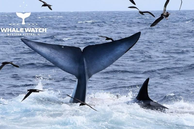 體型巨大的鯨類一旦相互獵殺,永遠是海洋中最壯觀的史詩戰役。(擷取自whale watch western australia臉書粉專)