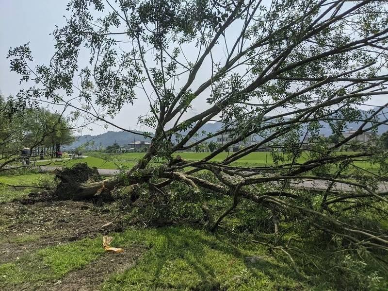 宜蘭縣三星鄉公所今天遷移安農溪落羽松秘境旁的光蠟樹,引發破壞獨角仙棲地的質疑聲浪。(圖由鄒先生提供)