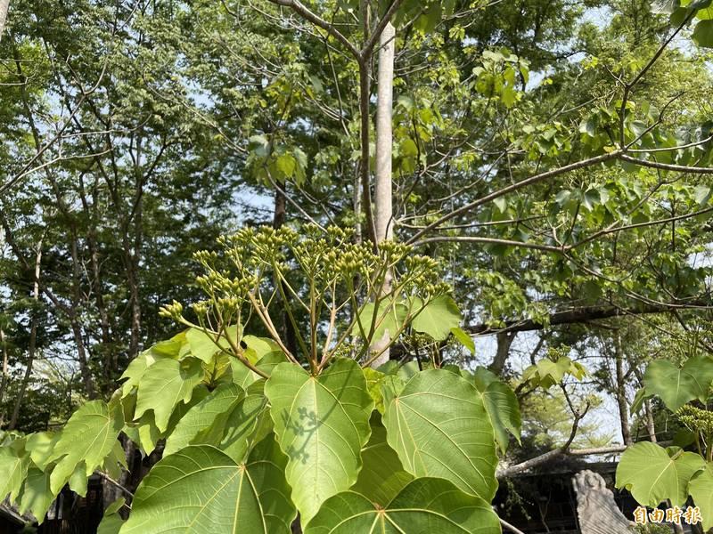 牛耳藝術渡假村的油桐樹上已見結滿的花苞,若後續能有雨水滋潤,將更有助花況。(記者佟振國攝)