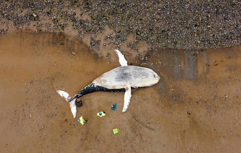 1條死亡的巨大座頭鯨被發現陳屍在英國沙灘上。(路透)