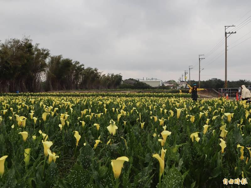 外埔區花農梁立潔在水頭二路種植約八分地的黃色海芋,開放民眾免費參觀。(記者歐素美攝)