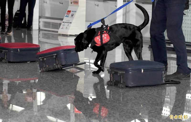 被暱稱為「護國神犬」的檢疫犬在退役後通常由搭配的領犬員或原捐贈飼主帶回,但若原飼主領回有困難,執勤單位也無人領養,便會安排一般民眾申請領養。圖為成功轉換成檢疫犬的警犬Funky。(資料照)