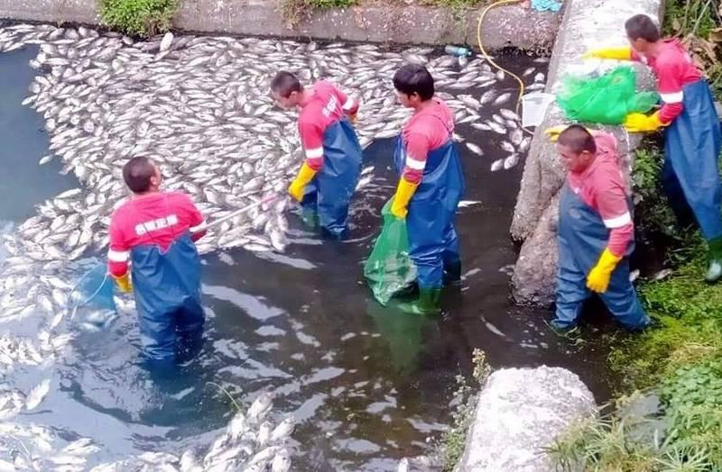 南投縣竹山鎮街尾溪又見魚蝦大量暴斃,公所派員進行打撈清理。(記者謝介裕翻攝)