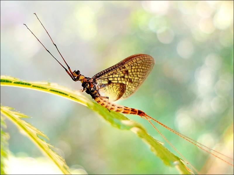 丹麥蜉蝣被昆蟲學家選為2021年度昆蟲。 (美聯社檔案照)