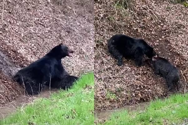 近日有民眾意外在公路旁直擊,熊豬大戰的激烈畫面,並將過程用影片記錄下來PO網 (圖取自YOUTUBE)