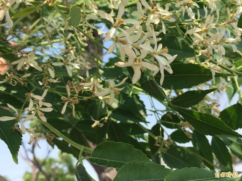 台江大廟興學倡議為家鄉掃地,志工意外發現多年前栽種的白花苦楝盛開。(記者王姝琇攝)