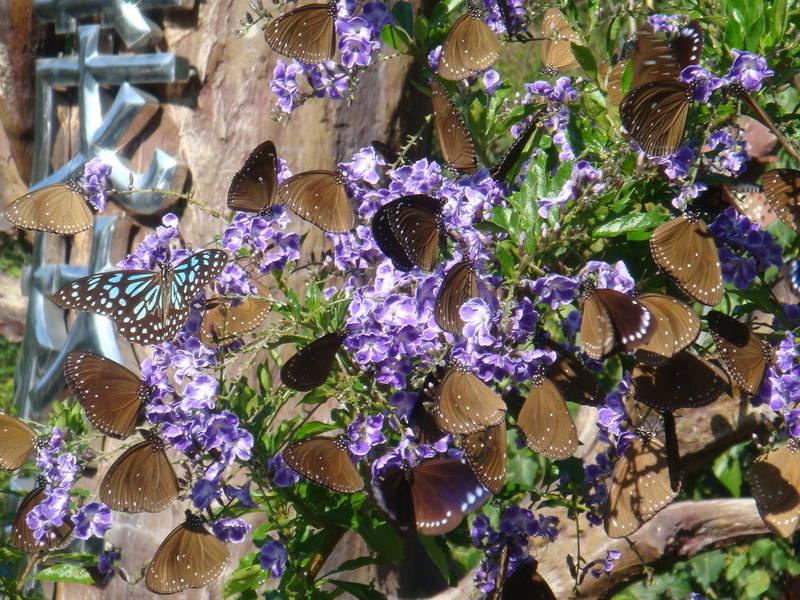 冬季在南部群聚度冬的紫斑蝶,近日已逐漸北飛,清明前後將可在雲林觀測到「清明蝶仔」。(茂管處提供)