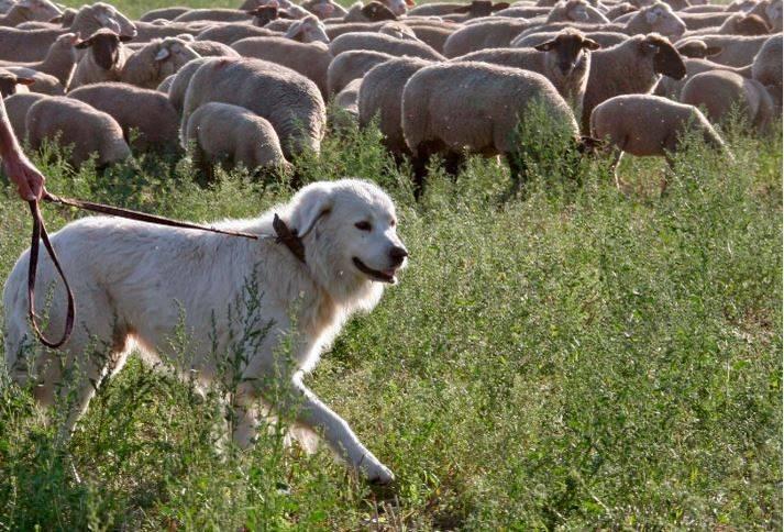 加拿大渥太華一名女子日前帶狗出門散步時,突然癲癇發作倒地不斷抽蓄,她飼養的混種牧羊犬見狀心急如焚,看到有車輛行經時衝到路中央「攔車」求援,最後成功拯救主人一命。示意圖與當事狗狗無關。(歐新社)