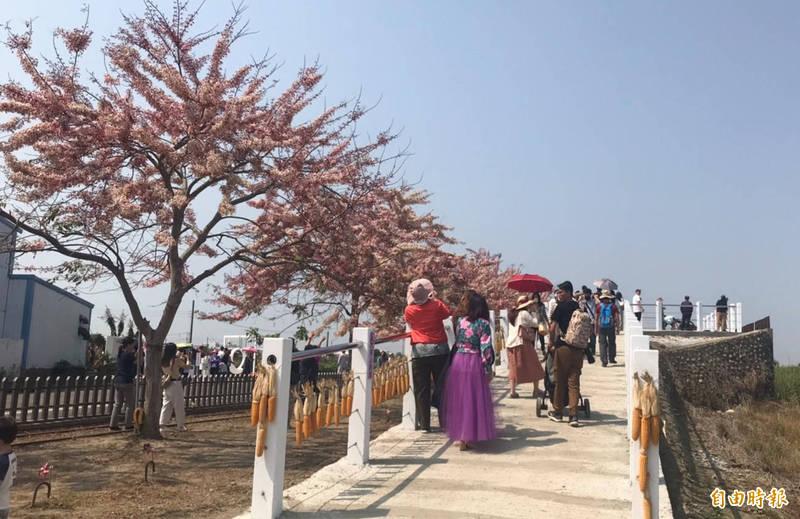 台南西港金砂里花旗木盛開,美不勝收。(記者楊金城攝)