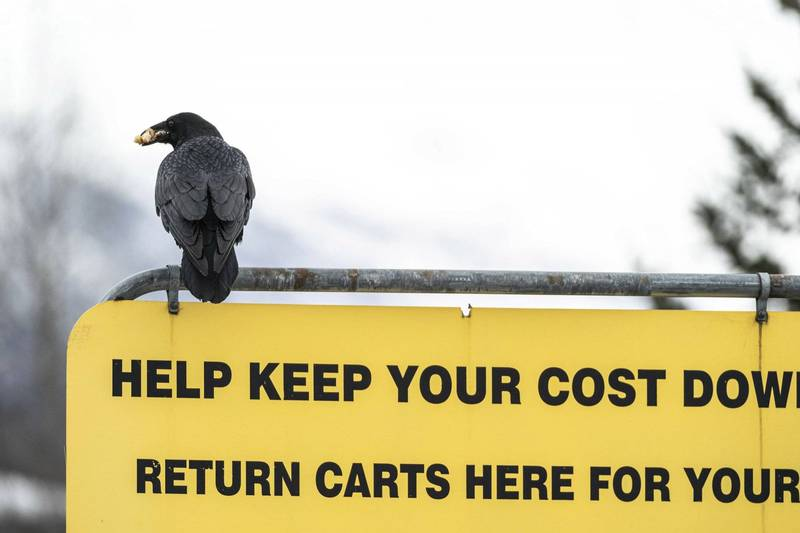 美國阿拉斯加安克拉治好市多的烏鴉搶劫肋排,顧客拿回去好市多退貨時獲得全額退款。(美聯社)