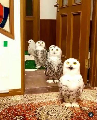 日本網友分享寵物「雪鴞」的超萌日常。(圖翻攝自IG帳號nao00000227)