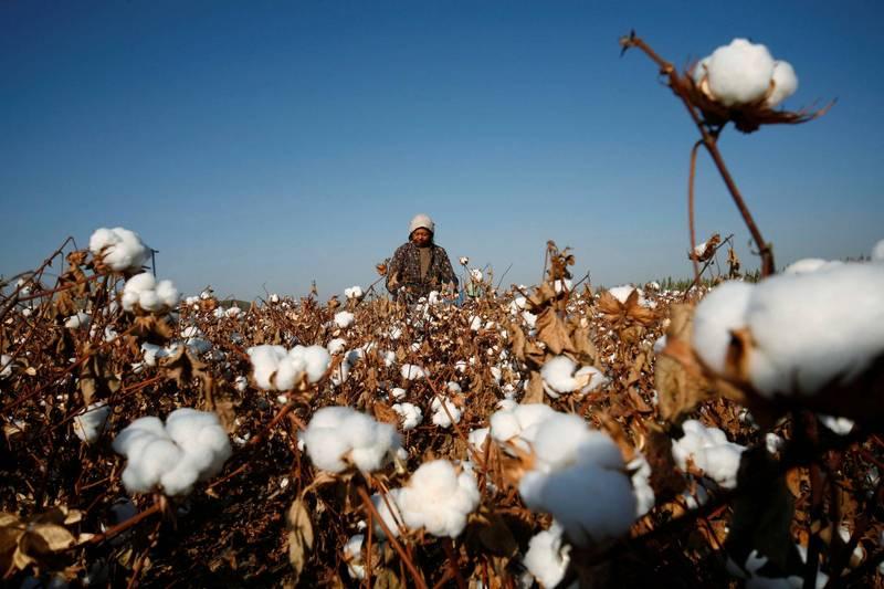 新疆農民在東部哈密一帶的棉花田採摘棉花。(路透檔案照)