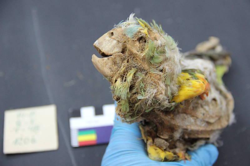 古代美洲原住民會將外型豔麗的鸚鵡製作成木乃伊,有的還會呈現張嘴展翼的飛行姿勢。(擷取自賓州州大官方網站)