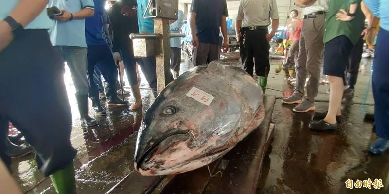 東港魚市今天競標「第一尾」。(記者陳彥廷攝)
