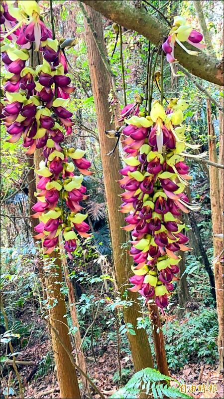 盛開的血藤花像是一串紫紅色的風鈴。(記者黃美珠攝)